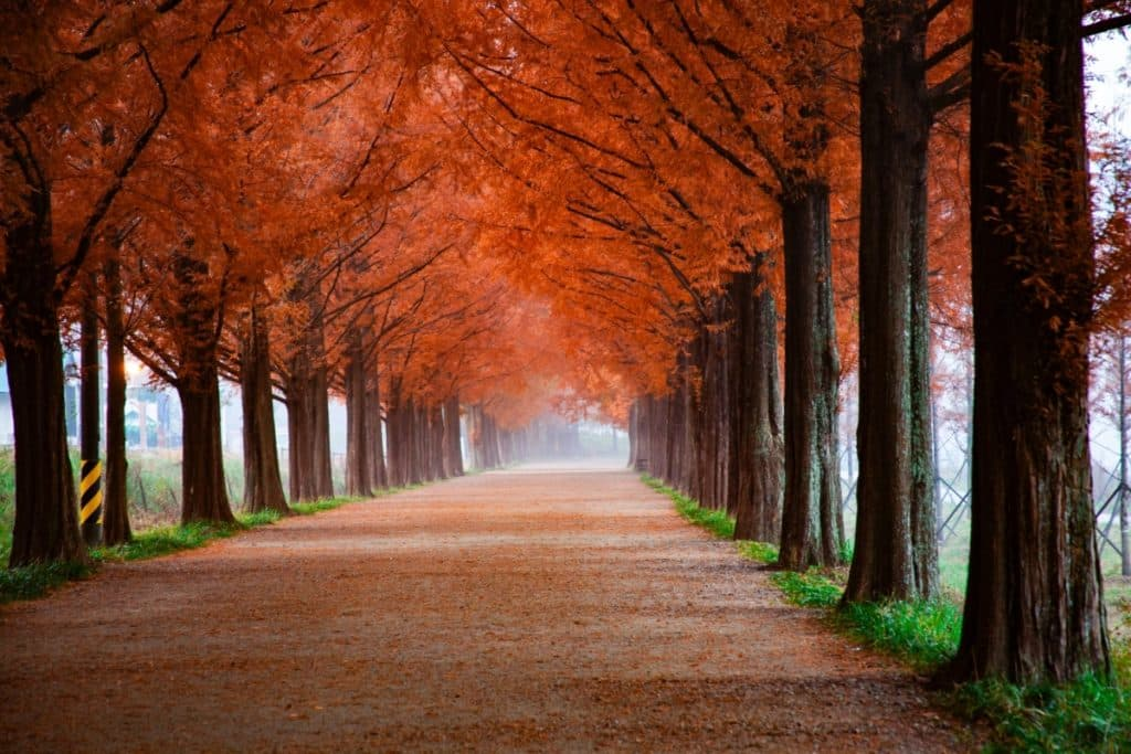 Parellel orangy-red-leafed trees form canopy over wide paved path