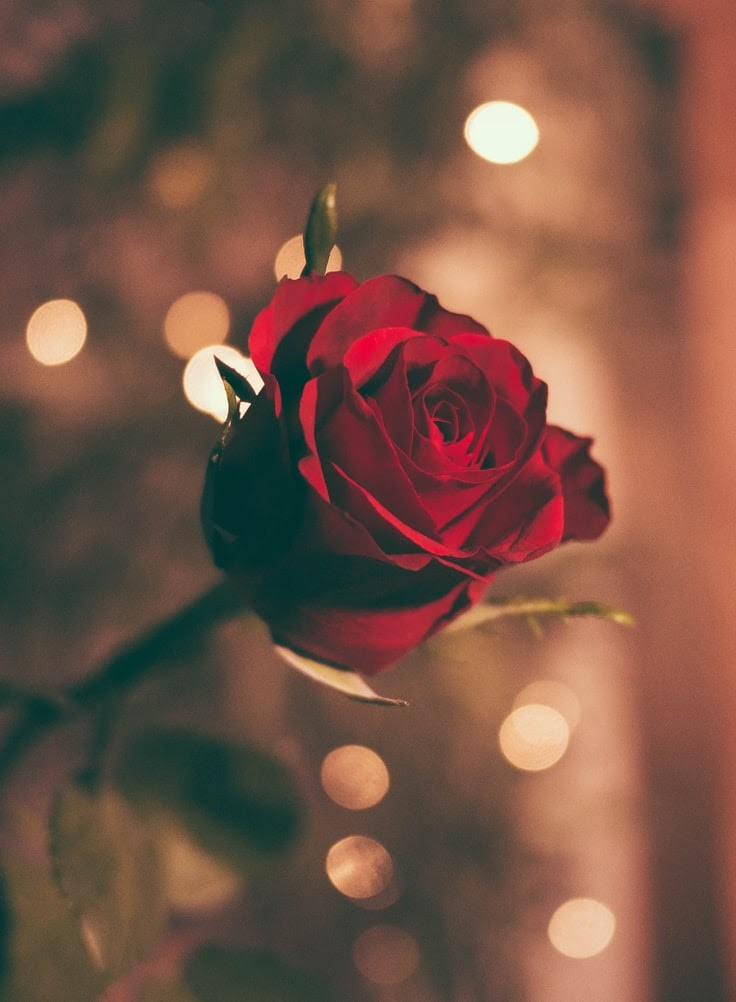 A single red rose blossom