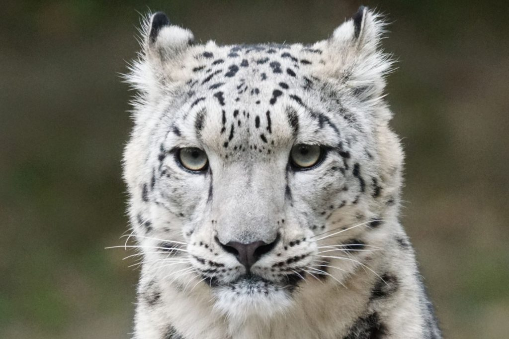 Beautiful white snow leopard with black markings and ears tilted back